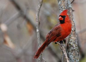 Male red cardinal